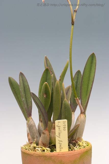 C. ghillanyi f. palha
