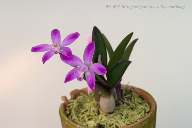 C. ghillanyi f. flamea