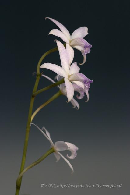 C. caulescens f. coerulea