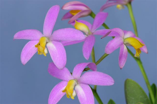 L.lucasiana