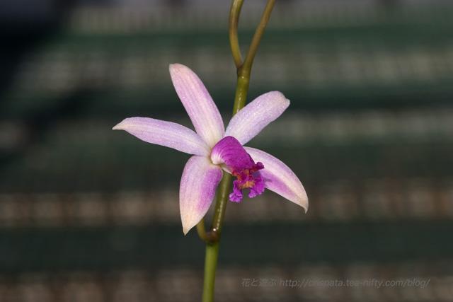 C. caulescens f. atropurpurea