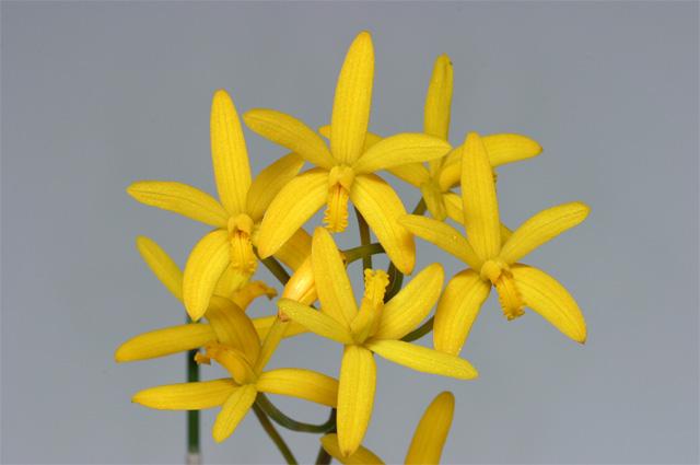 L.macrobullbosa