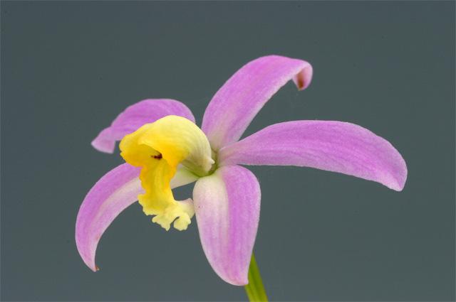 L. lucasiana