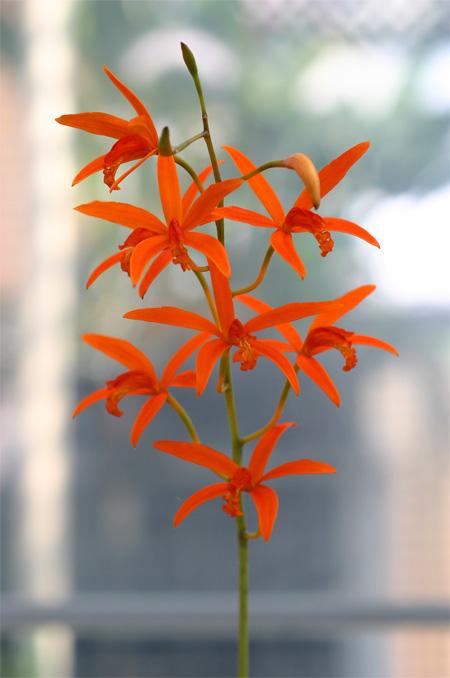 L.cinnabarina