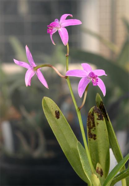 S. crispilabia