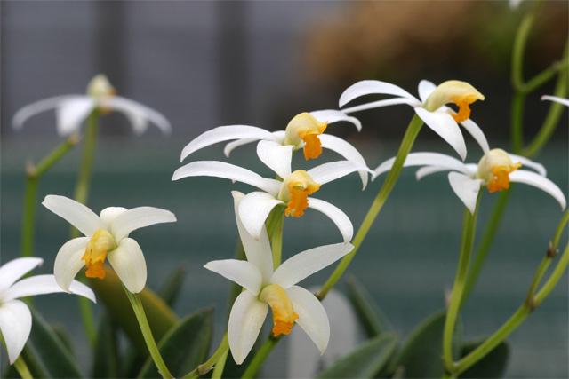 L. reginae  albescens
