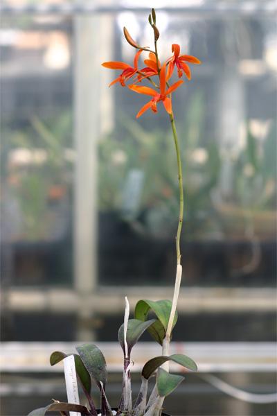 L. sanguiloba