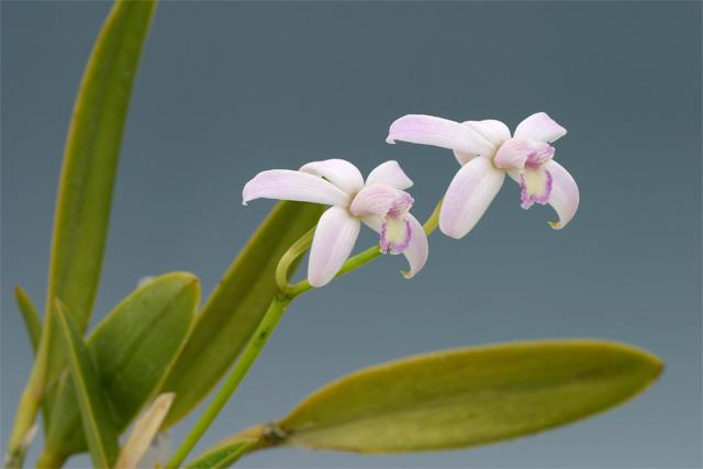 Soph.  crispilabia  f.  coerulea