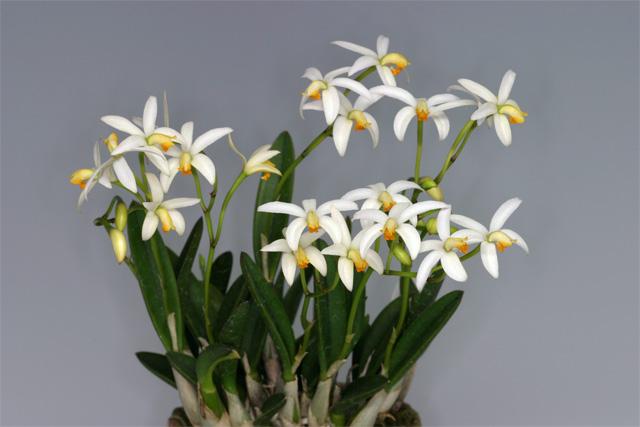 Soph. reginae f. albescence