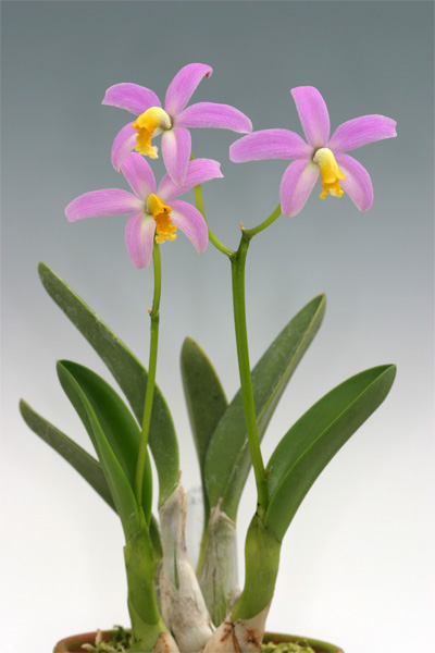 Soph. lucasiana  (longipes)