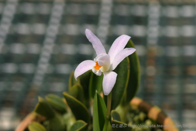 C. liliputana