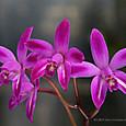 C. ghillanyi ( flamea x flamea ) S5562-4