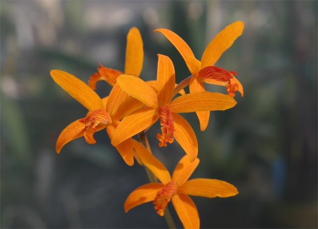 C. sanguiloba