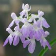ウチョウラン(graminifolia)