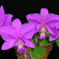 C. nobilior var. concolor x 'Don Rafael Wenzel'