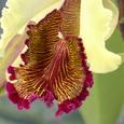 C.aurea  (dowiana var. aurea)