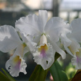 C. labiata   amesiana