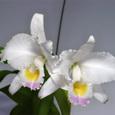 C. trianaei  amesiana #2