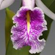 C. maxima  f.  semi-alba