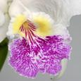 C. lueddemnniana  f.  semi-alba