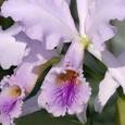 C. jenmanii coerulea ('Hyde'בAzul Star'BM/JOGA)